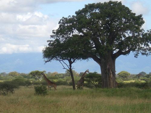 Tarangire Tanzania